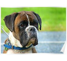 Beautiful Jowls! - Boxer Dog - NZ Poster