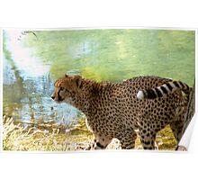 Marking My Spot! - Cheetah - Orana Wildlife Park CHC NZ Poster