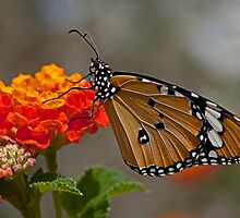 Plain Tiger AKA African Monarch Butterfly by PhotoStock-Isra