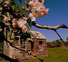 The lonely Apple Tree! - Old House - NZ - Southalnd by AndreaEL