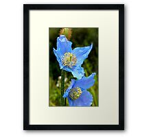The Colour of Sky! - Himalayan Poppy - NZ Framed Print