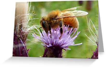 My Rose, Your Weed - Bee on Thistle - NZ by AndreaEL
