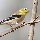 Go for the Gold--Goldfinches Calendar by Bonnie T.  Barry