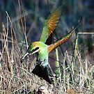 Bee-eater Touch Down by Phillip Weyers