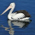 Pelican Reflection by kalaryder