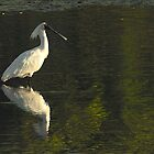 Royal Spoonbill by Barry Culling