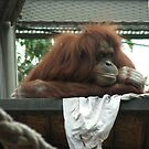 Orang-utan  by Bubbly
