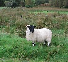 Black Face Sheep by fenner