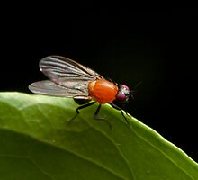 Vinegar Fly by Colin  Ewington
