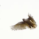 Little Corella (1) by Wildpix