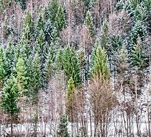 Snow-covered pines of the Carpathians by Serhii Simonov