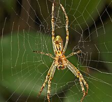 Spider in Web by Colin  Ewington