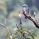 White bellied cuckoo-shrike by Sara Lamond