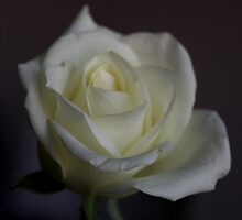 White Rose by lyon2007