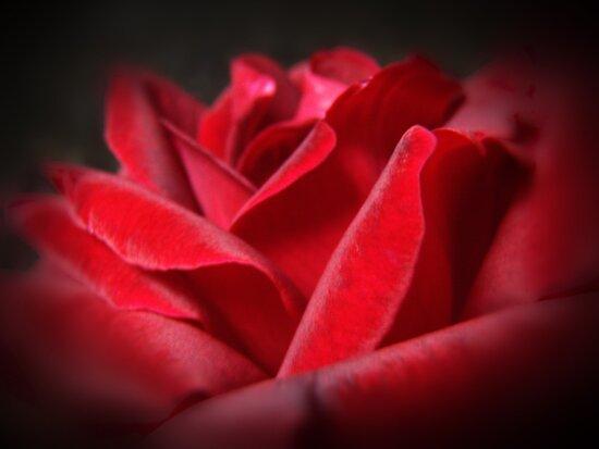 A Perfect Rose by yolanda