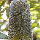 Old Man Banksia (Banksia serrata) by Ben Shaw
