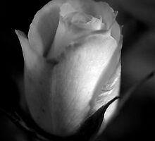 A rose in black and white by Ashley Ng