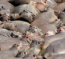 Many Hippos by David Odd