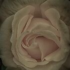 softest pink rose by Nicole W.
