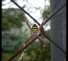 Stripey spider by elizabethrose05