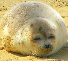 Seal Closeup on Cape Cod by buddykfa