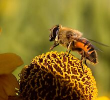 Bee Macro by Judy Harland