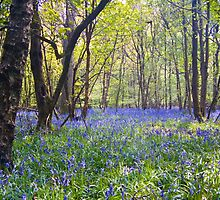 Beautiful bluebells by InterestingImag