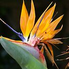 Strelitzia by dreaming