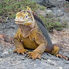 Galapagos Land Iguana by Matt Gibbs
