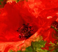 Poppies by Robin Brown