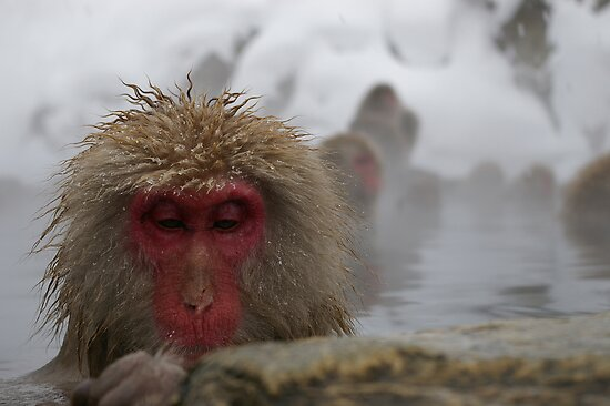 Japanese Snow Monkey by Barry Rowlingson