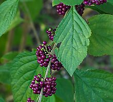 beauty berry- Everglades by David Chesluk