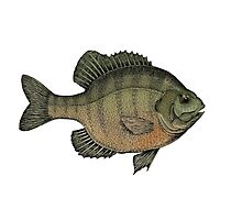 Crappie Photographic Print