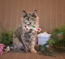 Christmas Tortie by AndreaBorden