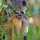 Koala eating a gum leaf by simonwoolley