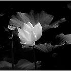 Lotus #37 by Janos Sison