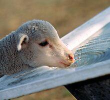 Thirsty Lamb by Simon Hodgson