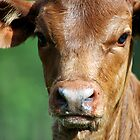 Curious Calf by Danielle Espin