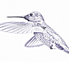 "Humming Bird ""Sketch"" Blue by BluAlien"