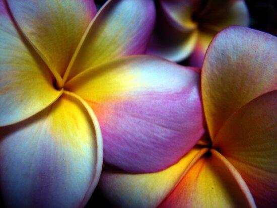 Pink Frangipani by yolanda