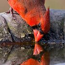 Redbird Reflections by Bonnie T.  Barry