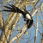 Magpie checks under Bark by DWMMPhotography
