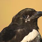 Portrait of a Young Magpie by DWMMPhotography