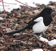 Magpie's Winter Forage by DWMMPhotography