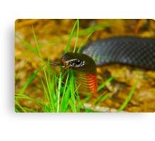 Red-bellied Black Snake [Pseudechis porphyriacus] Canvas Print