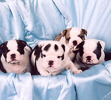 English Bulldog Puppies by ronibgood