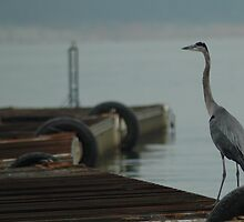 Blue Heron by KBSImages