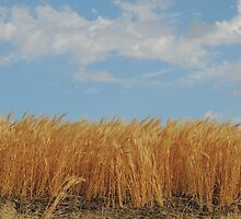 Wheat in the wind by JacquelineB