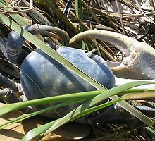 Blue Crab of Florida by jahouse