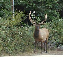 Elk Sighting 2 by TimsWorld